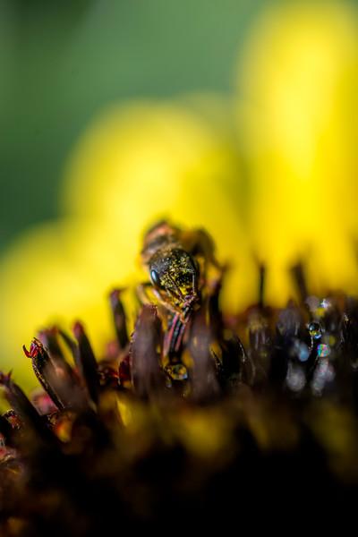 Close up of bee feeding