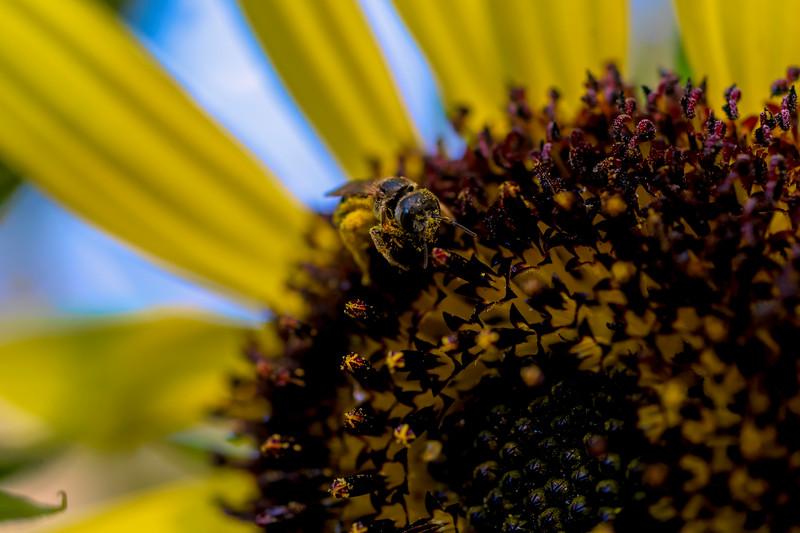 Bee feeding on the sunflower