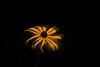 Coneflower,Echinacea ,Daydream,flower , yellow
