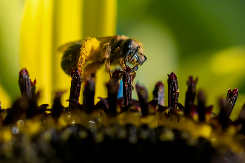 Close up of bee digging into the pollen