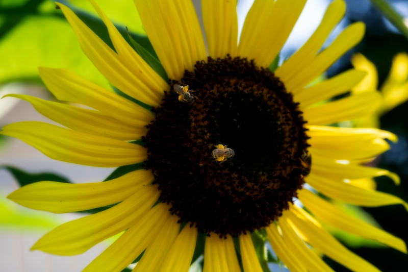Two bees with pollen on a sunflower