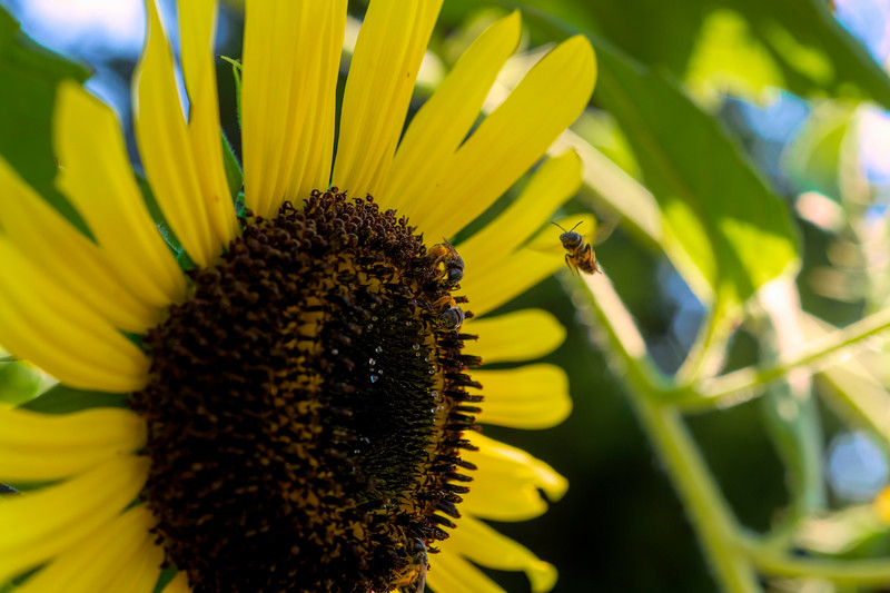 Honey bee coming in for landing on a sunflower