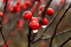 Red Falls berries with water beads