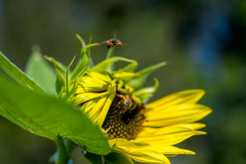 Sweat bee flying over sunflower