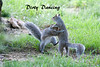 Grey squirrels having fun