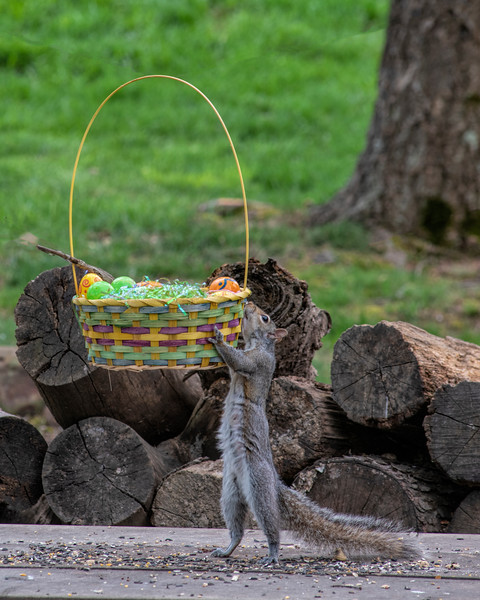 Squirrel lifting Easter basket off ground
