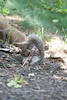 Grey Squirrle wrestling with a branch eating the buds on the branches