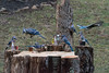 No bird louder and more obnoxious then the Blue Jay when been drinking.