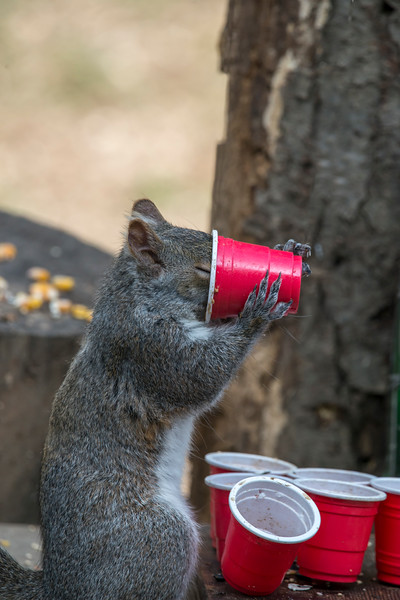 Grey tail drinking beer