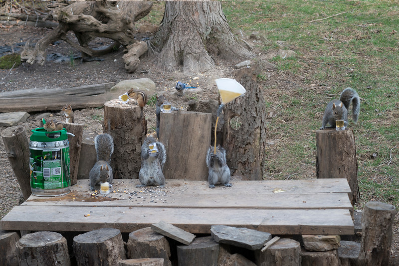 Grey tail tales - Even the chipmunks getting into the drinking