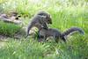 Grey squirrels having fun
