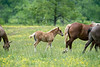 Baby horse standing behind mom