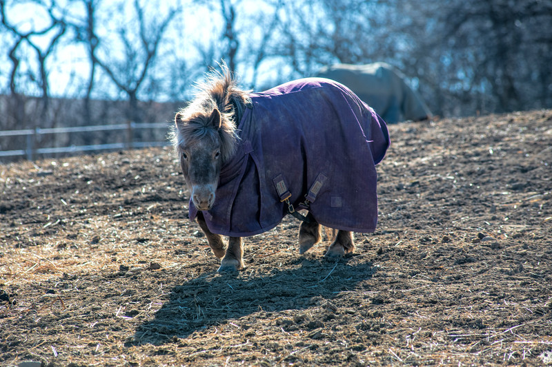 Miniature horse with cover on