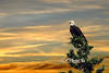 "Bald eagle at sunset <br /> <br /> to purchase - <a href=""http://dan-friend.artistwebsites.com/featured/american-eagle-sunset-dan-friend.html"">http://dan-friend.artistwebsites.com/featured/american-eagle-sunset-dan-friend.html</a>           .................................................................pixel paintography"