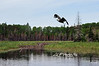 "Eagle Flying Over Beaver Dam<br /> <br /> Framed, metal, canvas order at this website - <a href=""http://fineartamerica.com/featured/eagle-flying-over-beaver-dam-dan-friend.html"">http://fineartamerica.com/featured/eagle-flying-over-beaver-dam-dan-friend.html</a>"