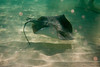 Stingray fliding over bottom................................................To purchase digital file or purchase print e mail - DFriend150@gmail.com