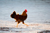 Rooster struting on the beach............................................................................To purchase digital file or purchase print e mail - DFriend150@gmail.com