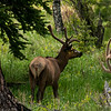 Elk in the along some trees