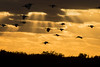 "Birds returning to roost at sunset in Everglades.............................................................to purchase - <a href=""http://bit.ly/1DuTsxL"">http://bit.ly/1DuTsxL</a>"