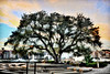 "artistic rendering of live oak tree at Harbour Town Hilton Head <br /> <br /> Order framed, metal, acrylic print, canvas, fine art print, photo print at this website - <br /> <a href=""http://fineartamerica.com/featured/live-oak-artistic-trendering-dan-friend.html"">http://fineartamerica.com/featured/live-oak-artistic-trendering-dan-friend.html</a>"