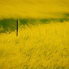 Yellow bloom of flowers in prairie paintography
