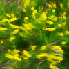 Yellow wild flowers in motion on prairie of South Dakota