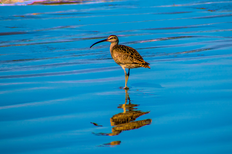 Long-billed curlew on beach in California