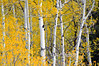 "Aspen Trees In Fall<br /> <br /> Framed, metal, canvas order at this website - <a href=""http://fineartamerica.com/featured/aspen-trees-in-fall-dan-friend.html"">http://fineartamerica.com/featured/aspen-trees-in-fall-dan-friend.html</a>"