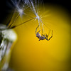 Spider on dandelion seed