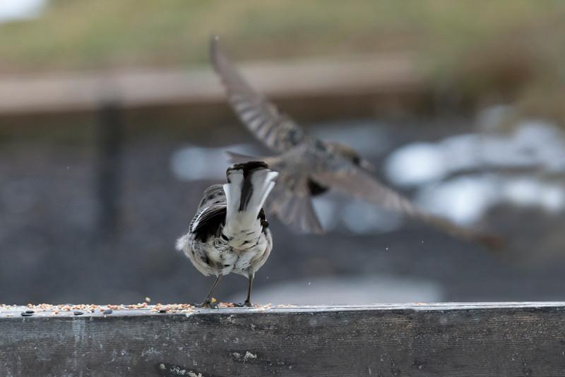 Mockingbird chasing a starling off the feeder