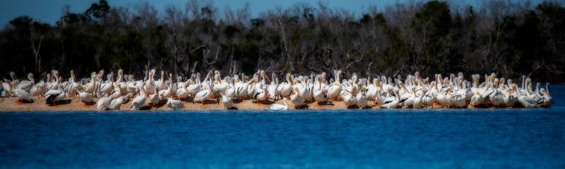 White Pelican on a sand bar