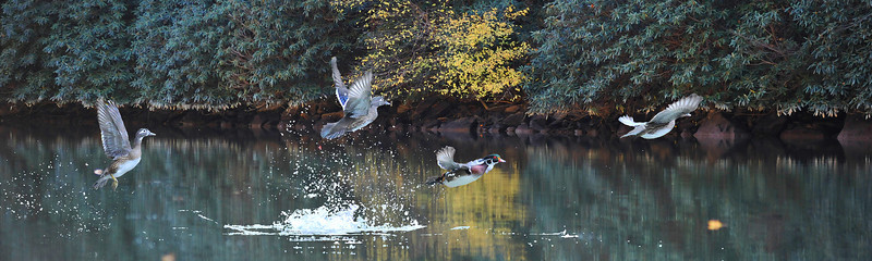 """Wood ducks taking off in flight..................to purchase - <a href=""""http://bit.ly/1oFA7Dg"""">http://bit.ly/1oFA7Dg</a>"""