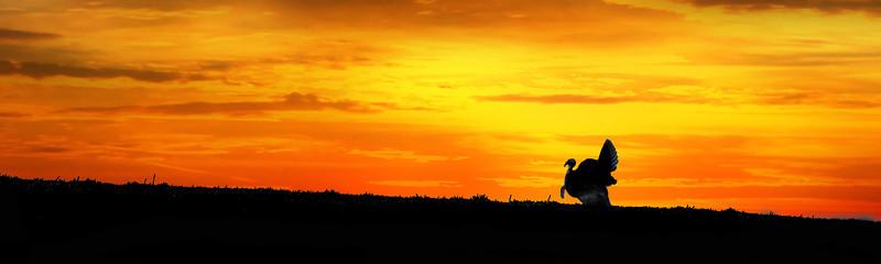 "Silhouette wild turkey in field at sunset...................to purchase - <a href=""http://dan-friend.artistwebsites.com/featured/silhouette-wild-turkey-in-field-at-sunset-panoramic-dan-friend.html"">http://dan-friend.artistwebsites.com/featured/silhouette-wild-turkey-in-field-at-sunset-panoramic-dan-friend.html</a>"