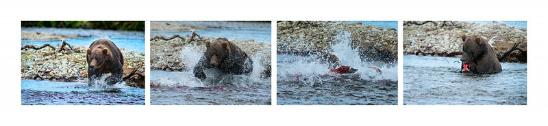 "Sequence of grizzly bear fishing for and catching salmon..............................to purchase - <a href=""http://bit.ly/1pLPNUq"">http://bit.ly/1pLPNUq</a>"