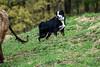 Riley the Australian Shepherd dog