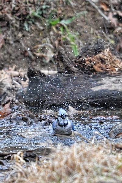 Blue Jay taking bath