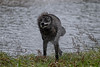 Black grey wolf shaking himself dry