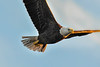 Bald eagle flying