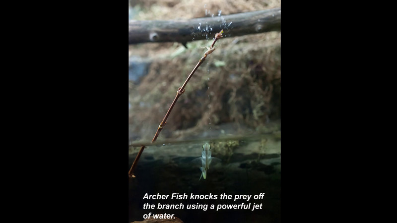 Archerfish2