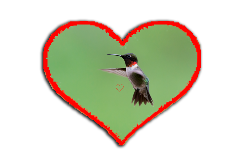 """Ruby-throated Hummingbird, by early fall they're bound for Central America, with many crossing the Gulf of Mexico in a single flight.  E mail DFriend150@gmail.com to purchase.......................to purchase - <a href=""""http://goo.gl/0K3D2K"""">http://goo.gl/0K3D2K</a>"""
