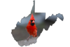 Red cardinal looking for food