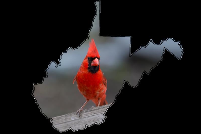State bird of West Virginia Red Cardinal