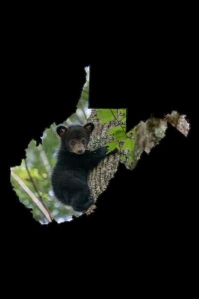 Black bear cub in a tree
