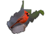"Male cardinal one of themost recognizable birds......West Virginia's state bird....................to purchase - <a href=""http://goo.gl/d3eyXT"">http://goo.gl/d3eyXT</a>"