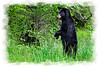 Black Bear standing upright .......................................Prints or digital files can be purchased by e mailing DFriend150@gmail.com