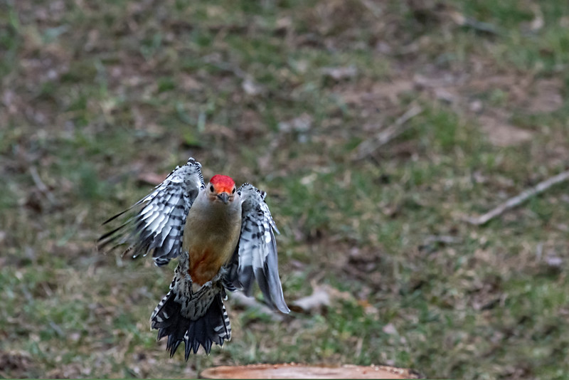 Red bellied woodpecker flying in for landing