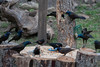 Common Grackles discussing letting red-winged blackbird join the flock