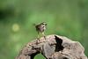 Sparrow on log