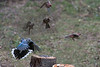 Blue jays and sparrows doing fly over log