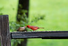 Kissing cardinals